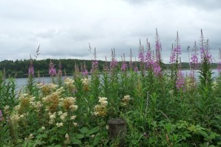 Flowers of high summer at the lakeside.