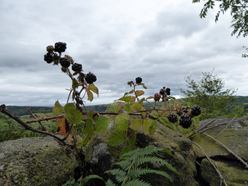 Blackberries in a landscape, ready to be eaten.