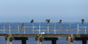 ..... and a line of cormorants.