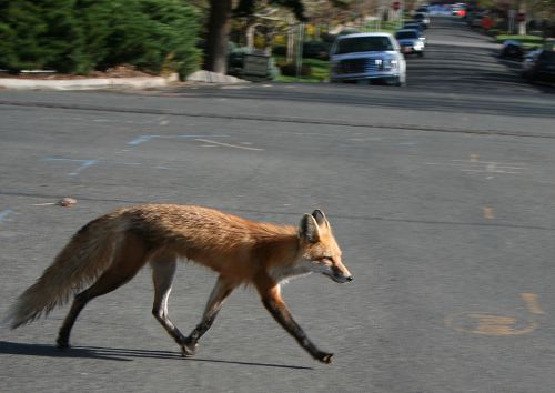 1024px-Red_fox_crossing_road