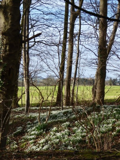 Snowdrops near Thornton Steward.