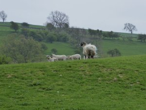 Sheep with her lambs.