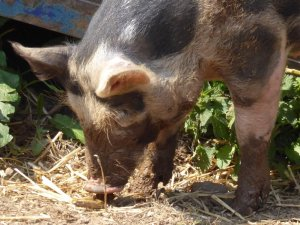 This pig is called Dennis Healey. Hands up if you understand the allusion.