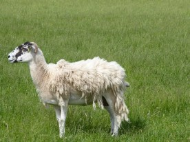 This sheep requires shearing.