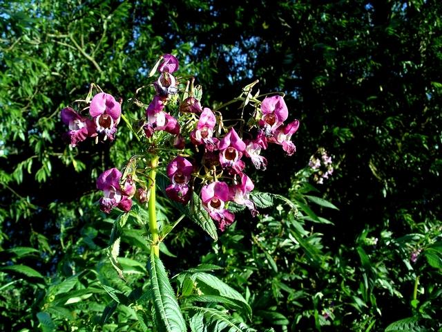 Himalayan Balsam (Wikimedia Commons)