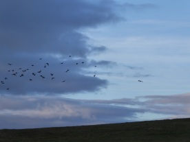 lapwings-on-the-gallops
