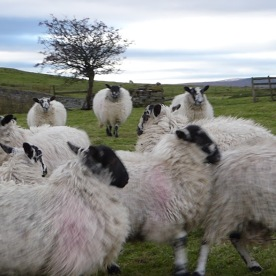 mobbed-by-sheep
