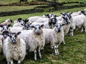 more-sheep
