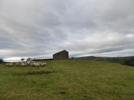 sheep-and-a-barn