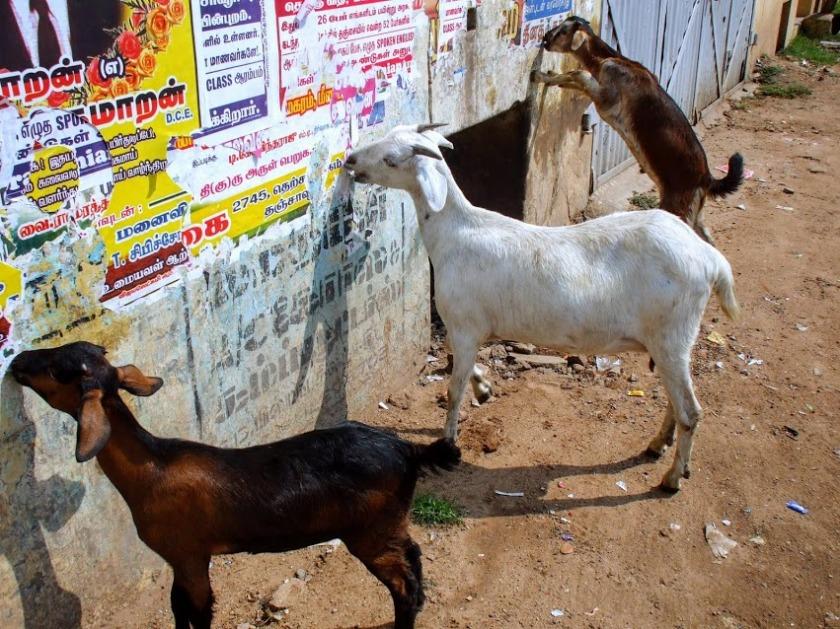 goats-in-thanjavur