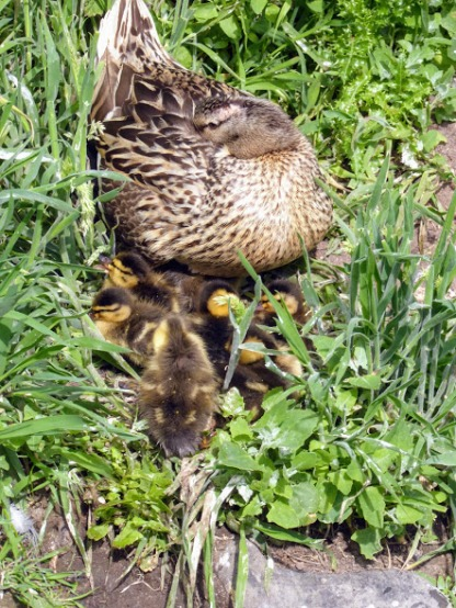 Eider ducklings.