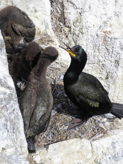 A cormorant and young.
