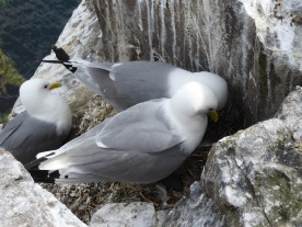 You can't spot the kittiwake young in this shot, but they're tucked underneath, honest.