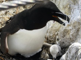 A razorbill protects her young.