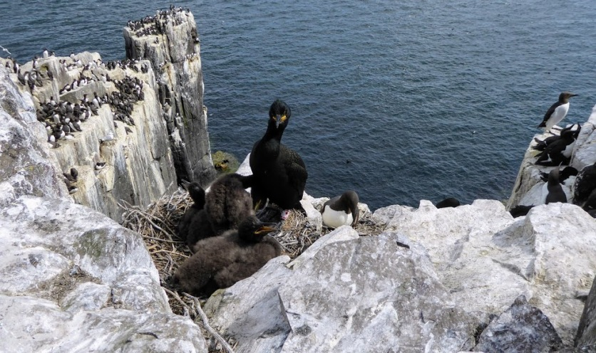 A cormorant nest - with lots of other nests nearby.