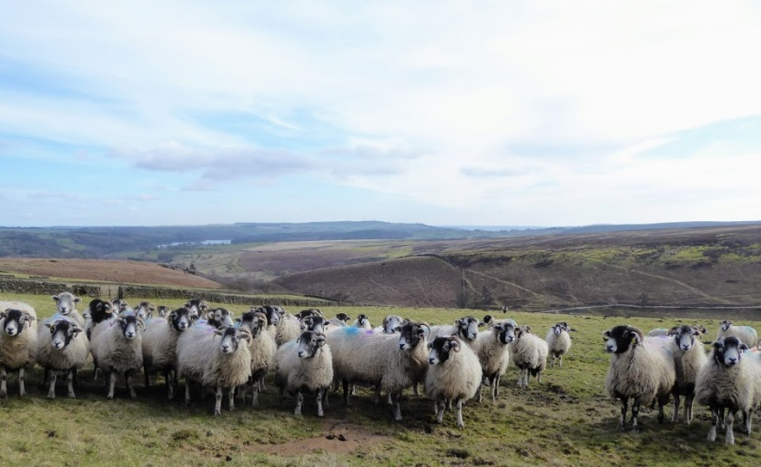 Sheep contained by the walls surrounding them near Blubberhousesand Kex Gill.