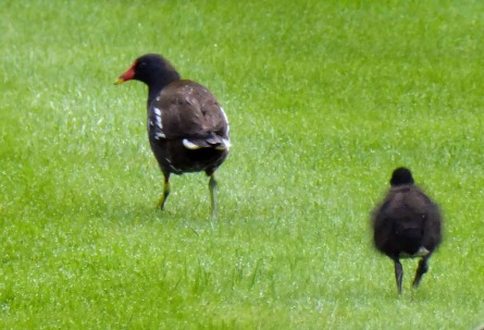 Mrs. Moorhen and Number One Chick.
