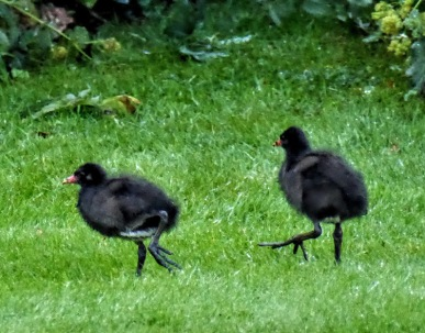Chicks in a hurry
