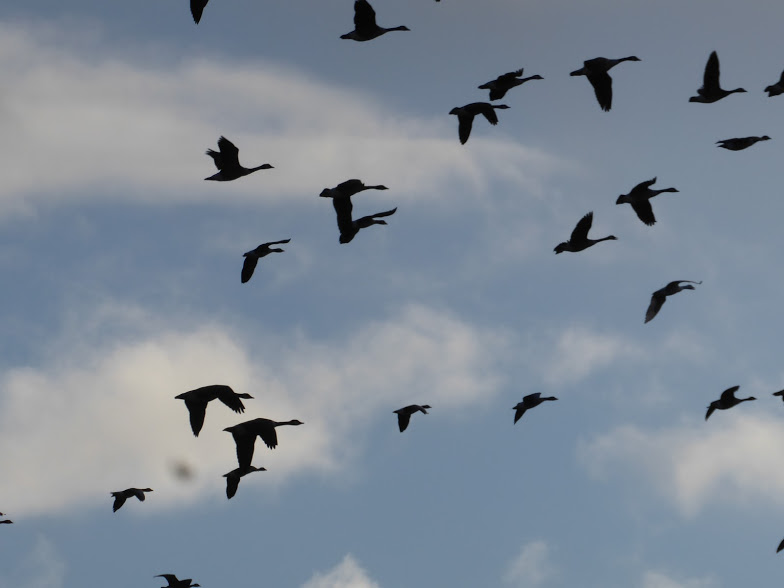 Geese flying uncharacteristically untidily over Marfield Wetlands.