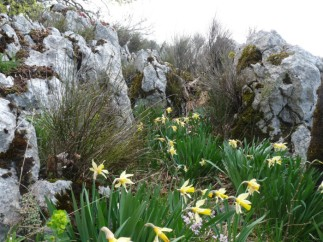 Wild daffodils in the Dolomies.