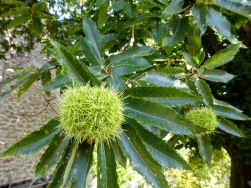 Sweet chestnuts, almost ready for picking.