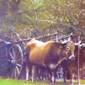 Ploughing with oxen. This photo is in colour, so can't be so very old.