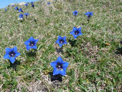 Gentians at Roquefixade.