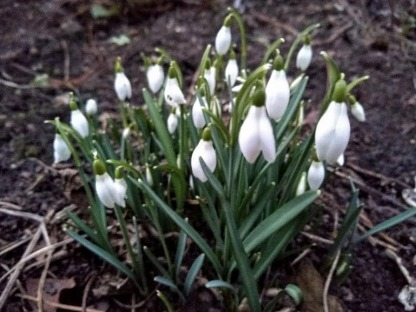 The first snowdrops.