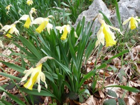 A clump of pale and delicate woodland daffodils.