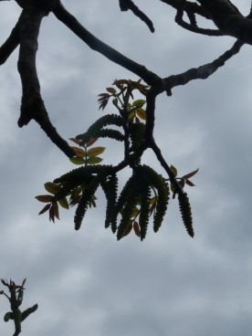 A nut tree of some kind comes to life after winter.