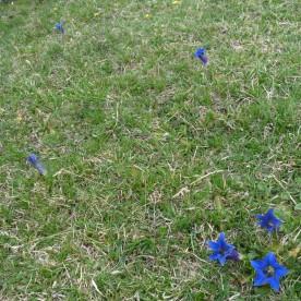 Gentians scattered across pastureland.