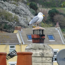 More herring gulls than people in Staithes.
