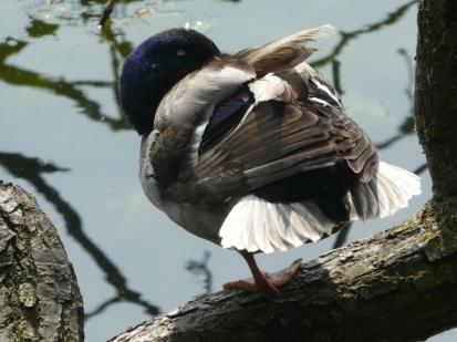 A mallard at Patelety Bridge. Blue head. White tail.