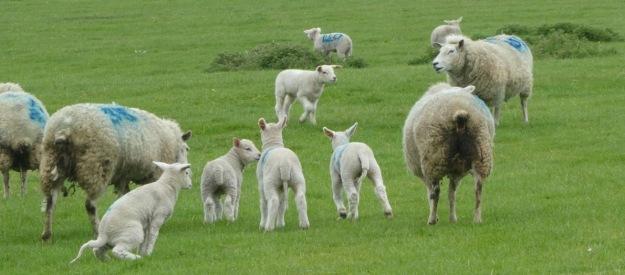 Local lambs.