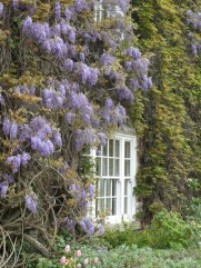 Wisteria on the wall.
