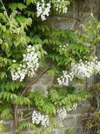 White wisteria.