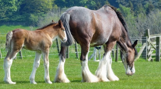 Shirehorse and foal.