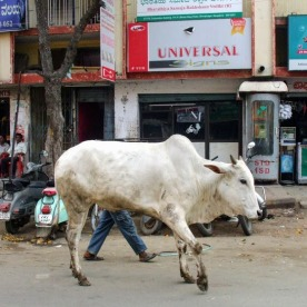 Cow on a mission in Bangalore