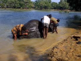 Washing an elephant in the River Kaveri.