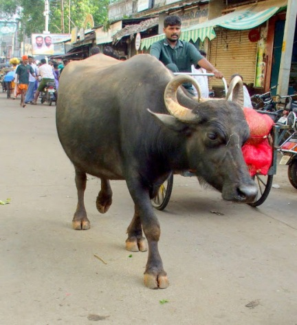 Street buffalo .