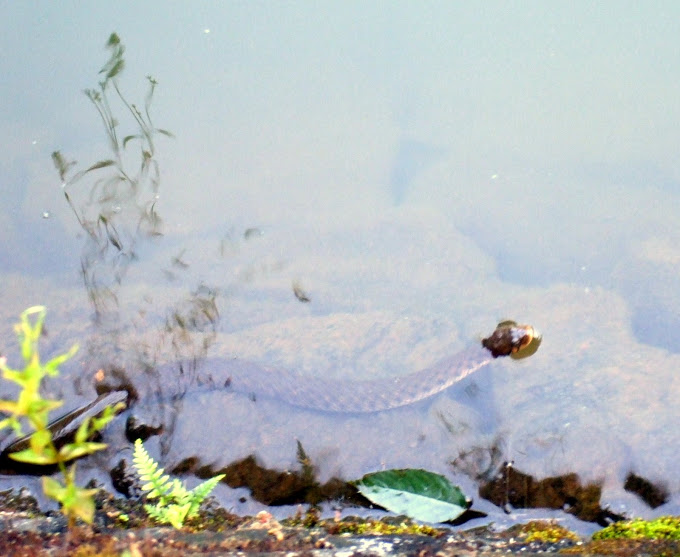 Swimming water snake.