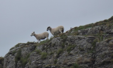 Sheep near Conistone, Grassington, North Yorkshire.