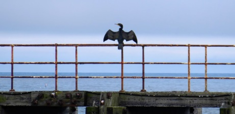 A cormorant on railings at the end of the pier, Whitby, North Yorkshire.