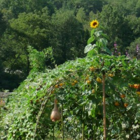 A tunnel of gourds, topped by a sunflower.