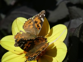 Painted Lady2