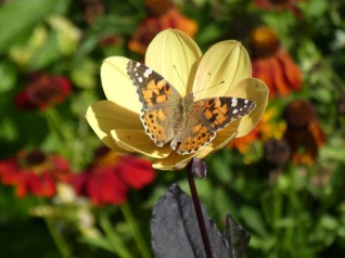 Painted Lady4