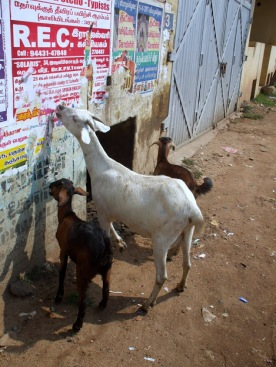 Goats eat breakfast in Thanjavur