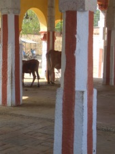 Temple cattle