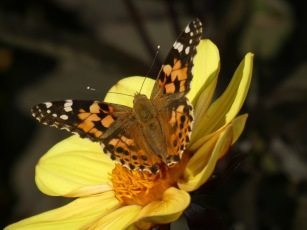 A Painted Lady at Beningborough Hall, Yorkshire.