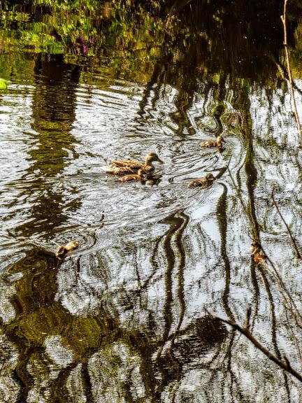 Ducklings near Pateley Bridge, April
